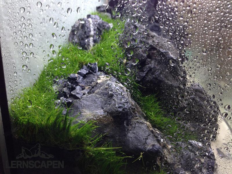 Aquascaping-Wettbewerb-Rollrasen-im-Iwagumiu-Scape-von-Dennis-Laufer